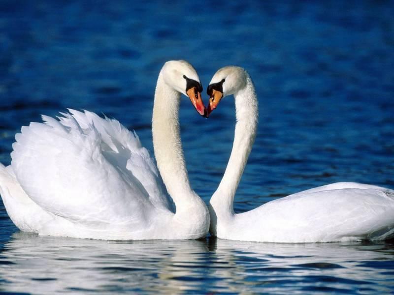 Лебединая верность.Романтические фоны